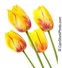 Yellow tulips with red stripes in a bunch of four.
