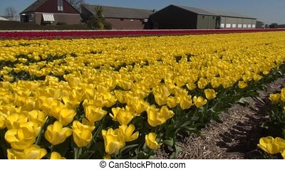 Yellow Tulips (Yellow of Purissima) - Tulip (Tulipa) is a...