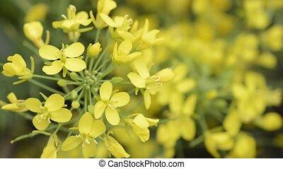 Yellow turnip flowers - Close up bright yellow turnip...