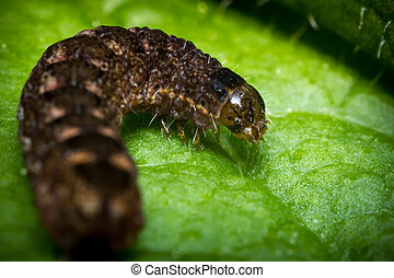 yellow underwing caterpillar underwig moth brown caterpillar macro
