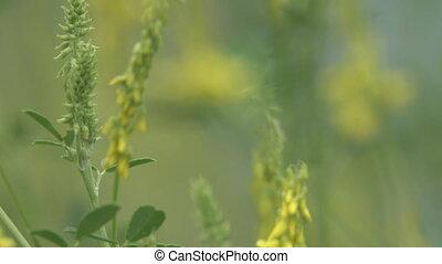 Yellow Vetch (Vicia sp. ) in meadow, mountain meadows, ...