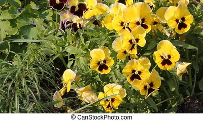 Yellow viola 6526