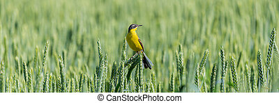 Yellow wagtail bird on the ears of wheat.