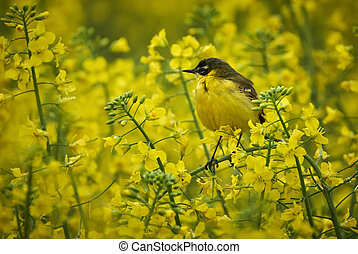 Yellow wagtail camouflaged in rape field
