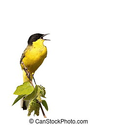Yellow Wagtail isolated on white background Motacilla flava ...