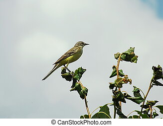 Yellow wagtail on a tree branch against the sky.