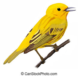 Yellow Warbler - Dendroica petechia - male