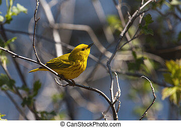 Yellow Warbler standing on a branch.