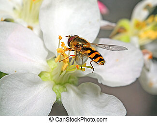 yellow wasp on aple tree flower