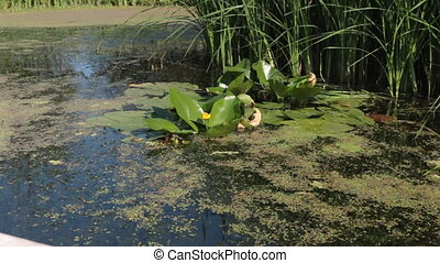 Yellow water flower and water lily leaves in the lake....