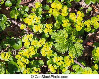 Yellow water flowers in the spring forest