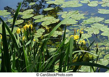 Yellow Water Irises in still pond