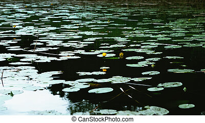 Yellow Water-lily Flower And Leaves On The Water Surface