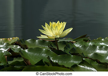Yellow Water lily flower with leaves.