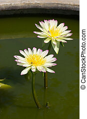 Yellow water lily in the pond.