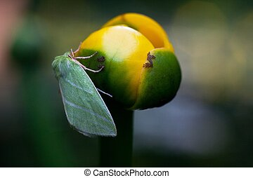yellow water lily with green moth