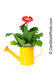 yellow watering can with Gerber flower