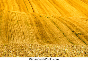 yellow waves in a field