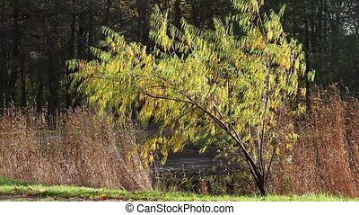 yellow weeping willow - Autumn Landscape with a weeping...