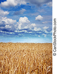yellow wheat at harvesting time