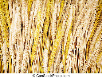 Yellow wheat cobs, agricultural theme