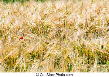 Yellow wheat ears and growing poppy flower