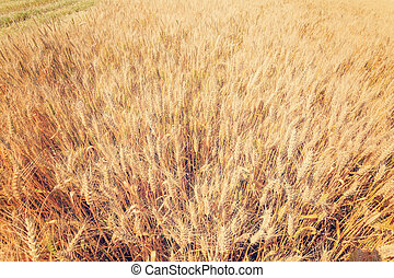 yellow wheat ears on the field