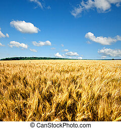 yellow wheat field against blue sky and clouds
