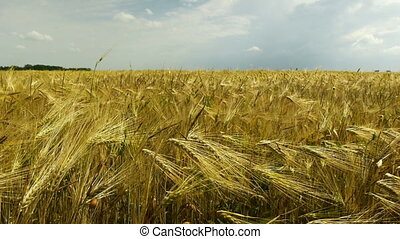 Yellow wheat field blowing in wind with cloudy sky on a background
