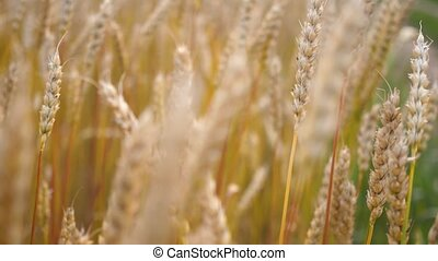 Yellow wheat field. Ears swaying in the wind. Ear close-up -...