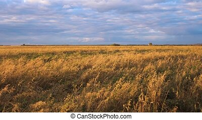 Yellow wheat field. Ears swaying in the wind on the background of thunderclouds