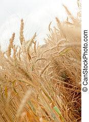 yellow wheat field