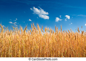Yellow wheat field under blue sky