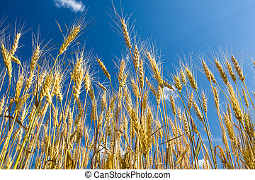 Yellow wheat field with blue sky