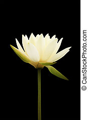 Yellow - white lotus flower isolated on black background, soft focus and clipping path