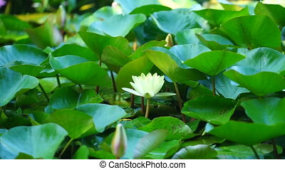 yellow-white water Lily on the background of green leaves