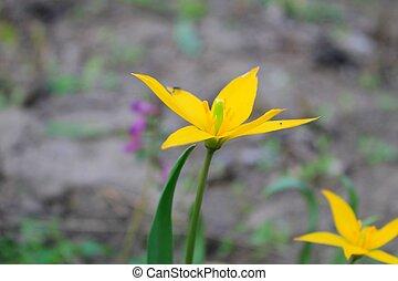 Yellow wild tulip