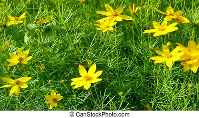 Yellow wildflowers. Camera movement with a single flower at...