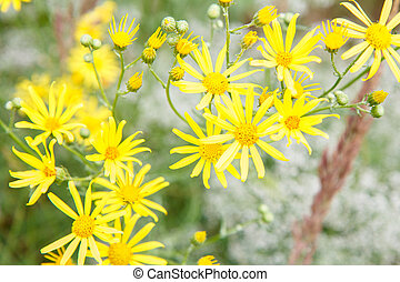 Yellow wildflowers in the summer field with blurred background.
