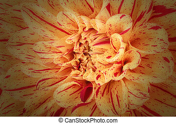 Yellow with red strip flower petals, close up and macro of chrysanthemum, beautiful abstract background