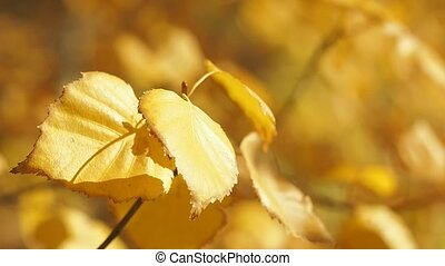 Yellow withered foliage on tree branches in autumn forest....