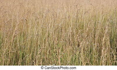 Yellow withered grass field closeup