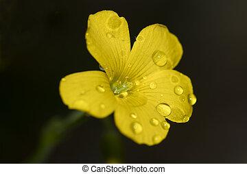 Yellow wood sorrel flower and rain drops