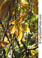 yellow woodbine leaf - close photo of a yellow leaf of...