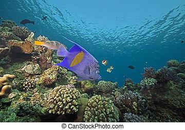 yellowbar, angelfish, océano