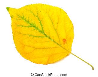 Yellowed autumn poplar leaf. Close-up view. - Yellowed...