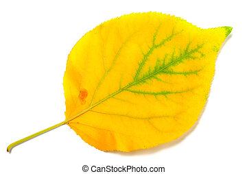 Yellowed autumn poplar leaf isolated on white background