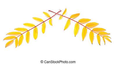 Yellowed autumn rowan leaves on white background