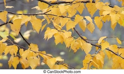 Yellowed Birch leaves fluttered in the wind