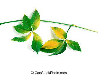 Yellowed branch of grapes leaves (Parthenocissus...